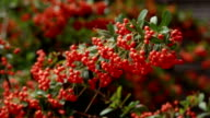 it is a lot of autumn mountain ash video
