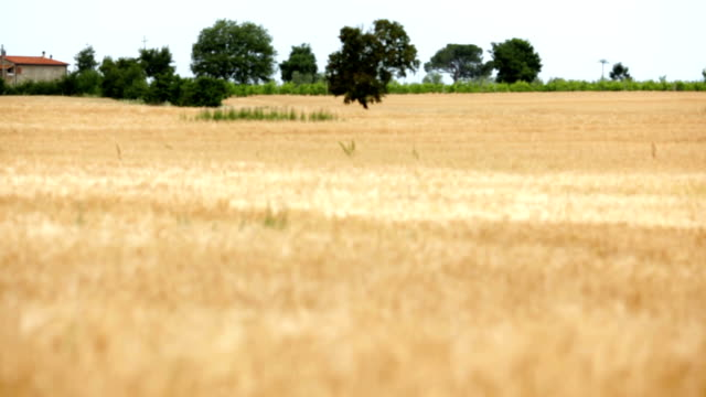 Italian tuscany yellow wheat field in summer day. Focus in shot video