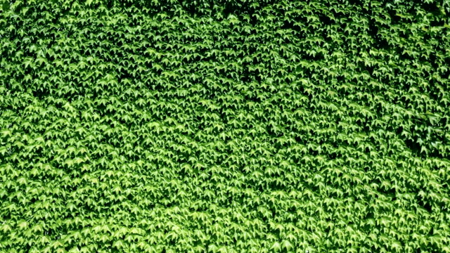 Ivy background video pattern video