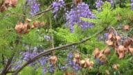 Jacaranda Tree in Wind (HD) video