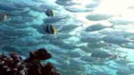 Jack Fish Shoal in Reef video