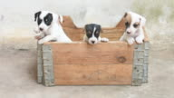 Jack russel terrier puppy in basket video