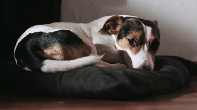 Jack Russell dog lay on the pillow. video