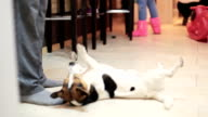 jack russell terrier dog doing tricks at home video