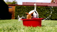 Jack Russell Terrier fools around digging the water out of a washbowl video