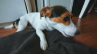 Jack Russell Terrier is in its place and something gnaws video