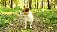 Jack Russell terrier looking around, looking for someone video