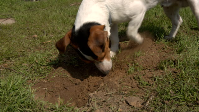 Jack Russell Terrier playing in the grass video