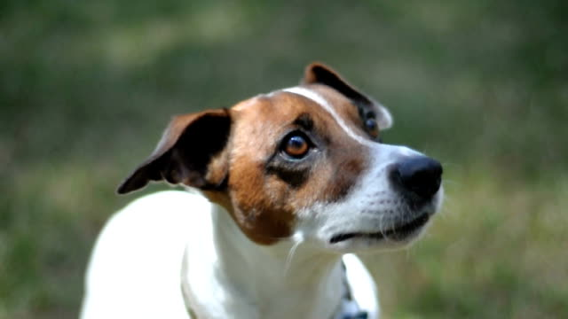 Jack Russell Terrier Watching video
