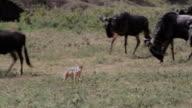 Jackal stalking wildebeests video