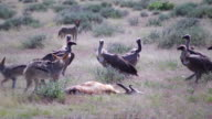 Jackals Feeding on a Springbok video