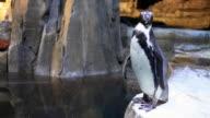 Jackass Penguin video