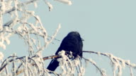 Jackdaw sits on a snow-covered branch video