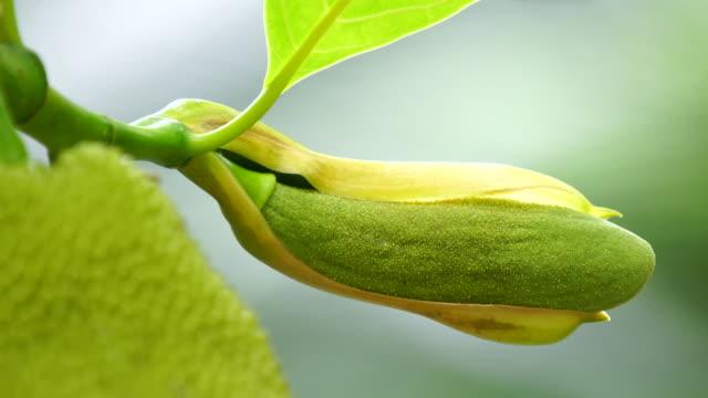 Jackfruit in the tree video
