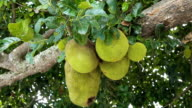Jackfruit on the tree video