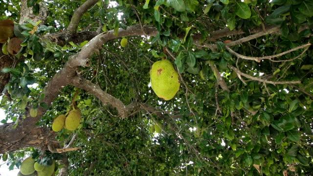 Jackfruit on the tree video