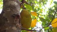 jackfruit on tree, nature scene video