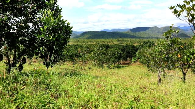 Jackfruit plantation in Vietnam video