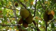 Jackfruit video