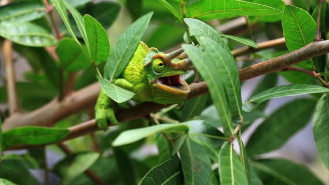 Jackson's Chameleon in Hawaii HD video