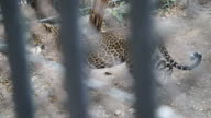 Jaguar behind the cage walking, two combine shot video