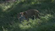 Jaguar walking and looking video