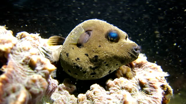 Jake the Dog (Blackspotted Pufferfish) in the real underwater world video