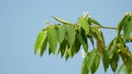 Jamaican cherry leaf and wind video