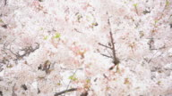 HD : Japan in pink season , Cherry blossom park video