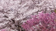 Japanease Cherry blossoms,in Showa Kinen Park,Tokyo,Japan video
