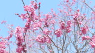 Japanease Red Plum,at Showa Memorial Park,Tokyo,Japan video