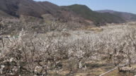 Japanese apricot flower garden time lapse in country outdoor video