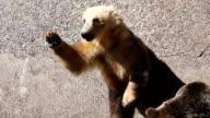 Japanese brown bear video