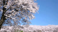 Japanese Cherry Blossom tree with sky video