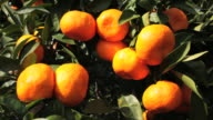 Japanese clementines on a Tree in Japan. video
