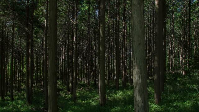 Japanese Cypress #002 video