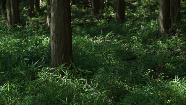 Japanese Cypress #004 video