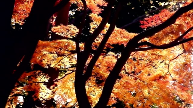 Japanese fall foliage: red leaves against light video