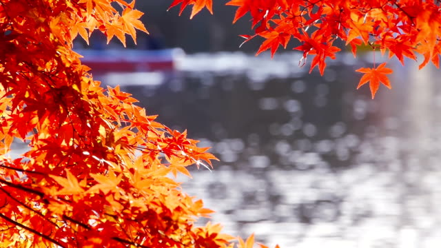 Japanese fall foliage: Red maple leaves and boats on pond video