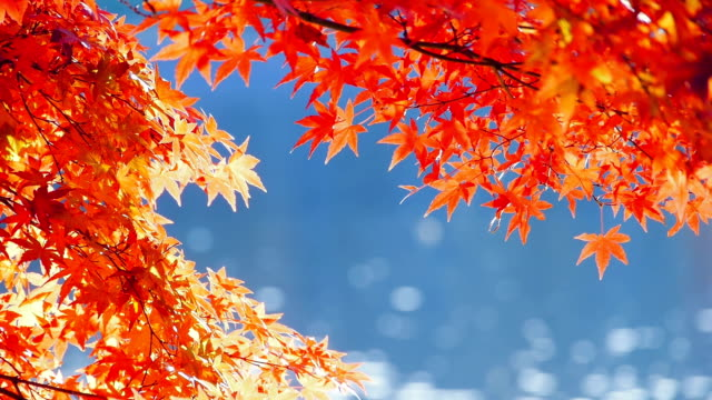 Japanese fall foliage: Red maple leaves and shining water video