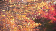 Japanese fall foliage: swinging yellow maple leave video
