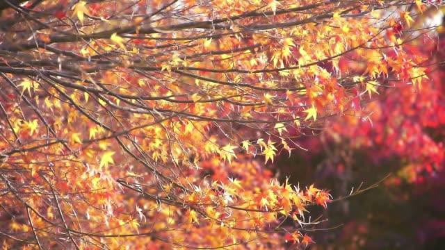 Japanese fall foliage: swinging yellow maple leave video