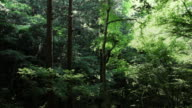 Japanese forest video