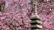Japanese Garden with pink cherry blossom video
