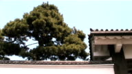 Japanese Imperial Pine video