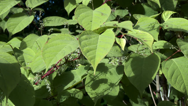 Japanese knotweed, Fallopia japonica, in rural Scotland video