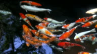 Japanese Koi fishes in pond video