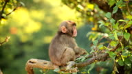 Japanese Macaque (Snow Monkey) video