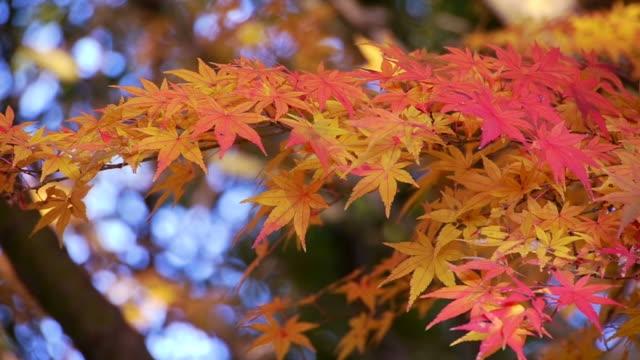 Japanese maple leaves video