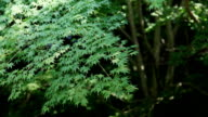 Japanese Maple Tree in Summer video